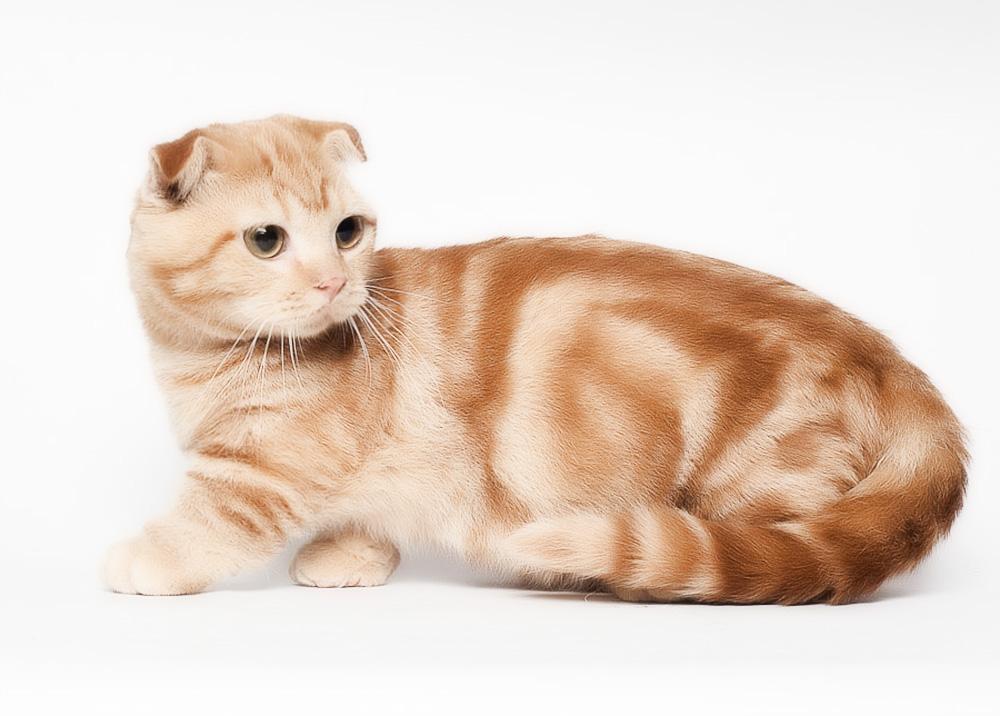 Красная вислоухая шотландская кошка
