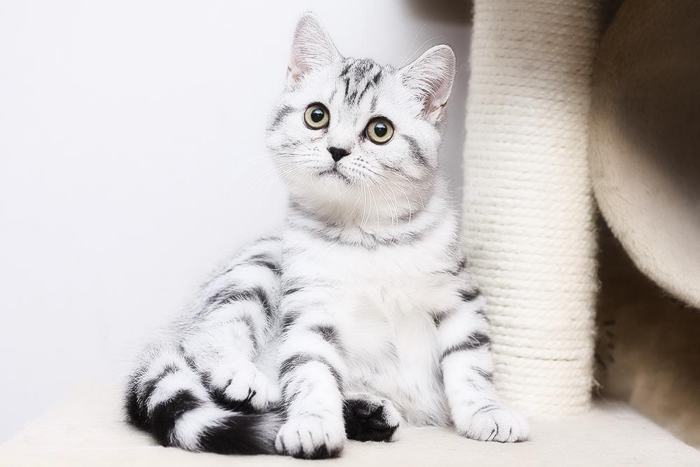 Рекомендации по правильному уходу за шотландским вислоухим котенком скоттиш фолд
