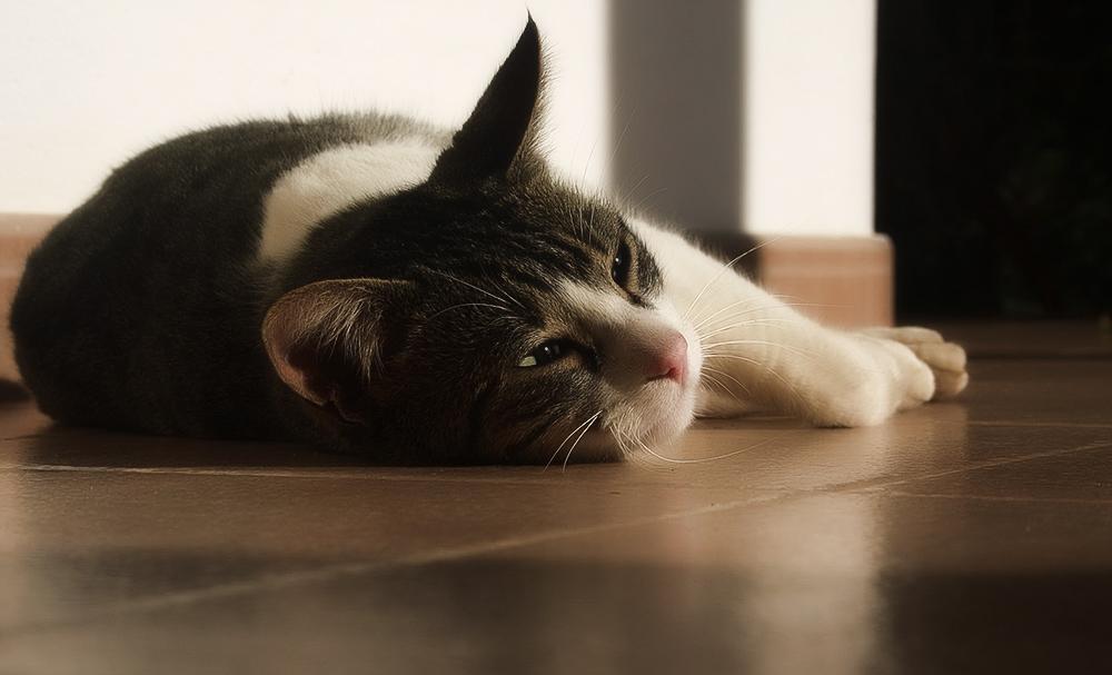 Симптомы отита у кошки