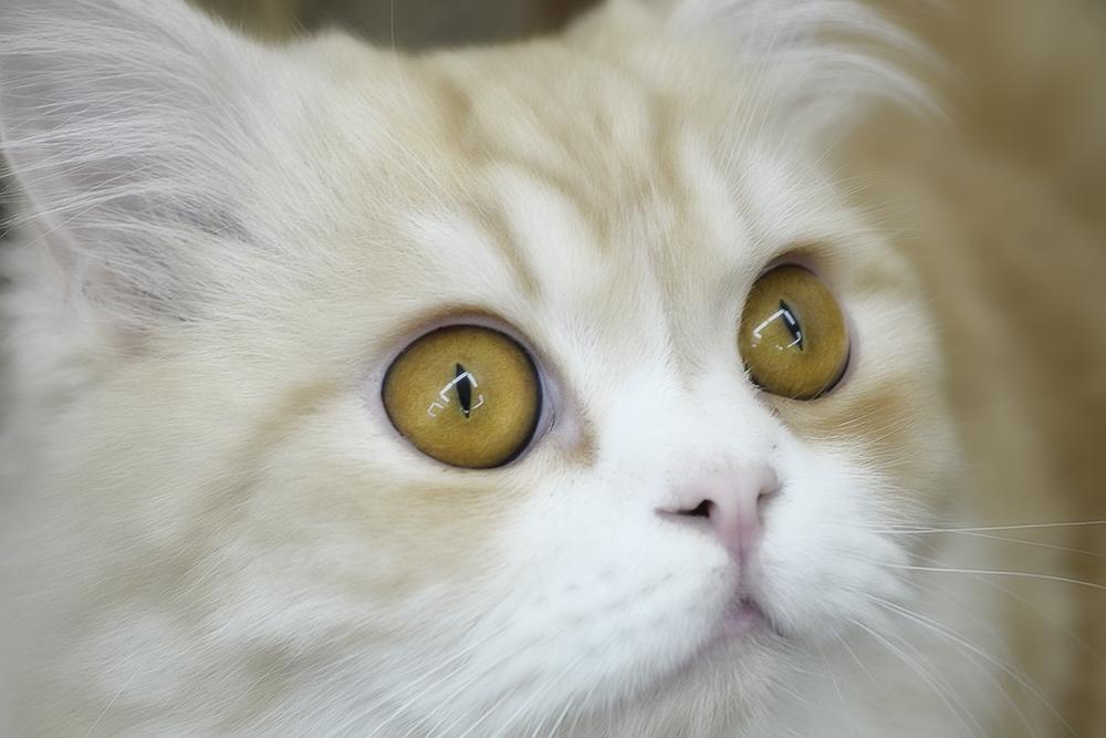 Лечение конъюнктивита у кошек в домашний условиях