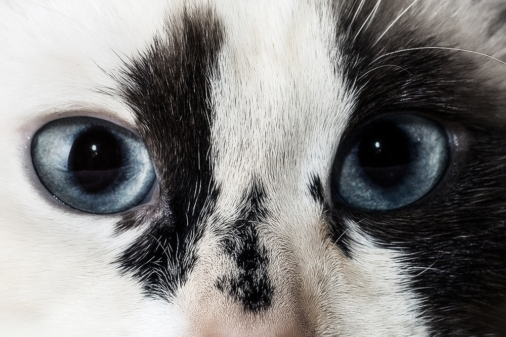 Диагностика и лечение конъюнктивита у кошек