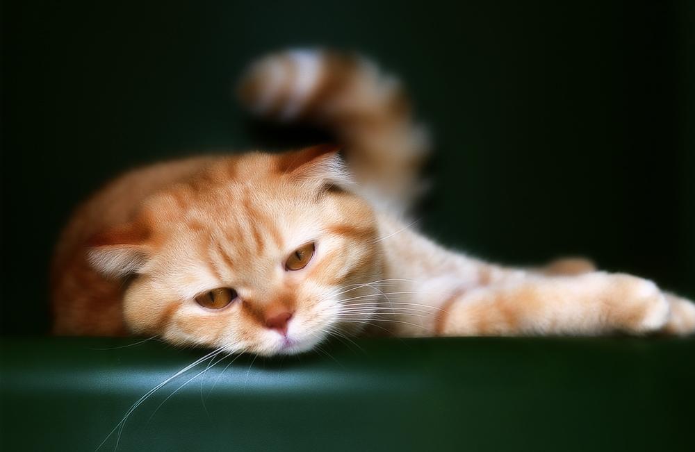 Симптомы отравления кошек на различные вещества