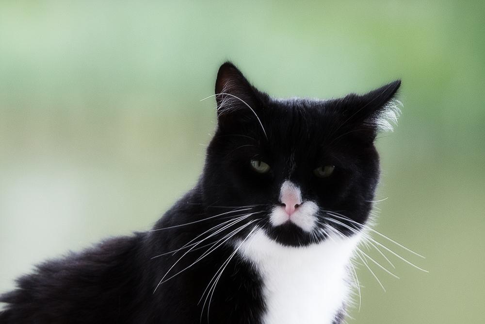 Лечение ХПН у кошек