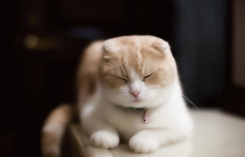 кошка вислоухая кошка фото