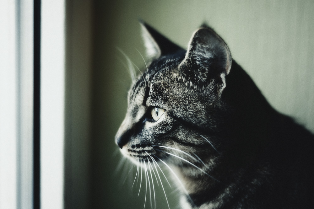 Вирусный иммунодефицит у кошек