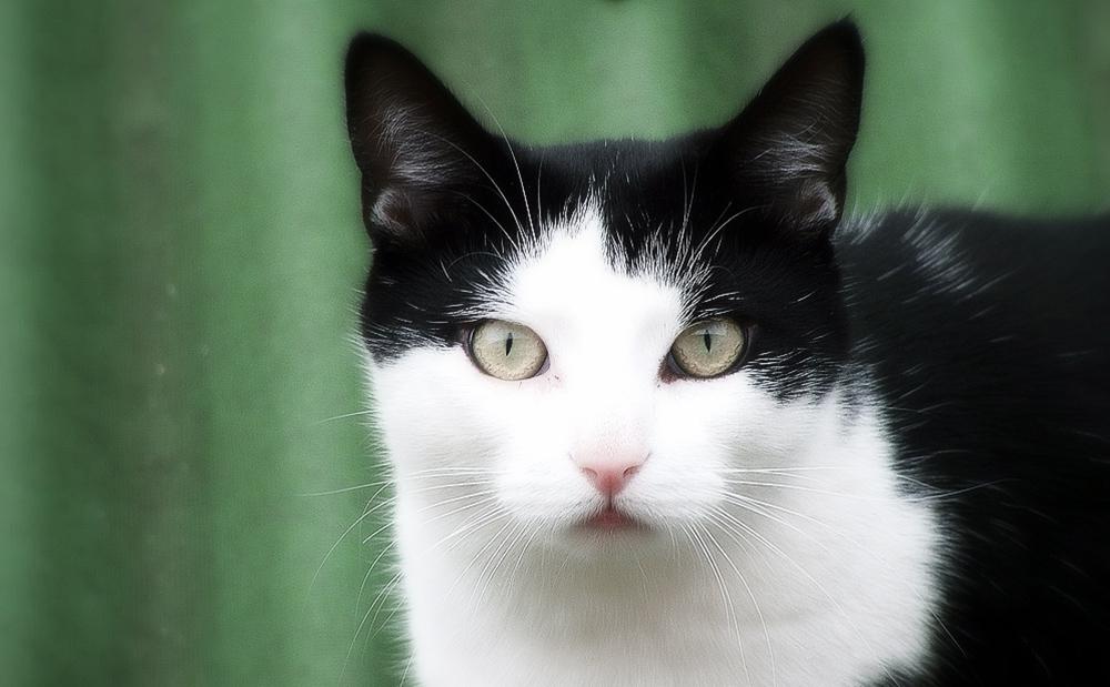 Чем опасен и передается ли ушной клещ у кошек человеку