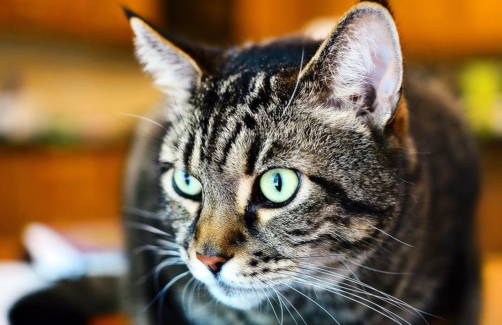 Кальцивироз у кошек: симптомы и лечение