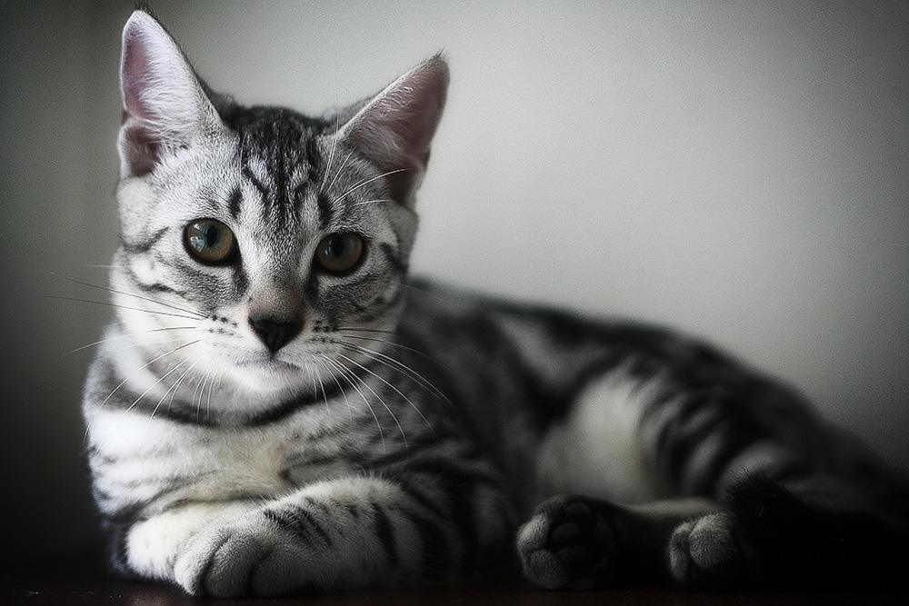 Американская короткошерстная кошка фото кошачий