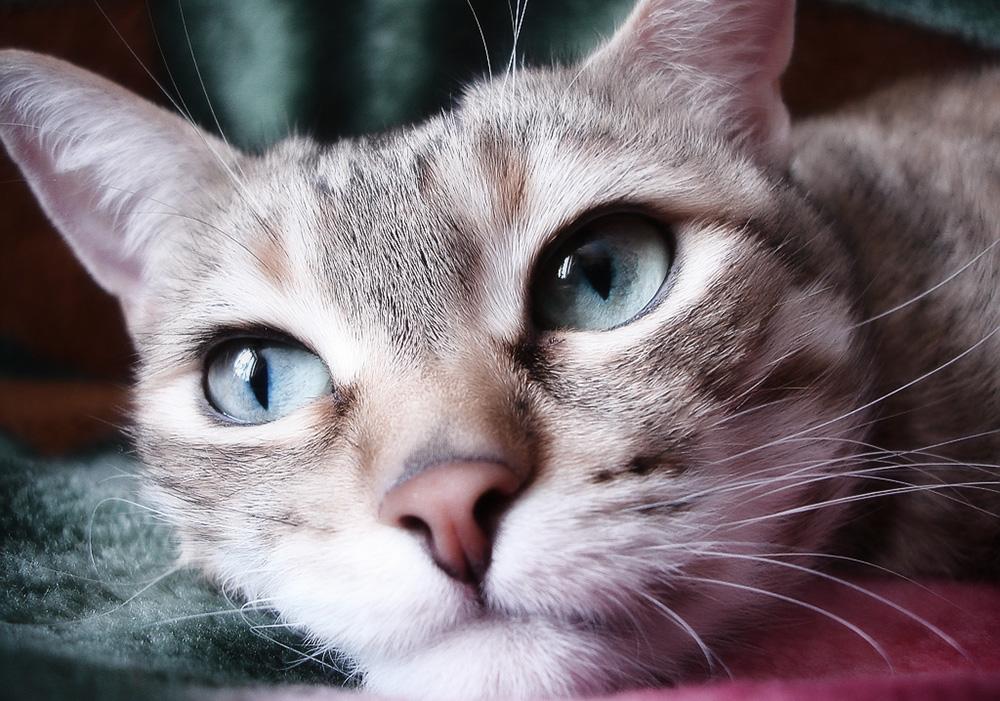 Микроспория у кошек: симптомы и способы лечения