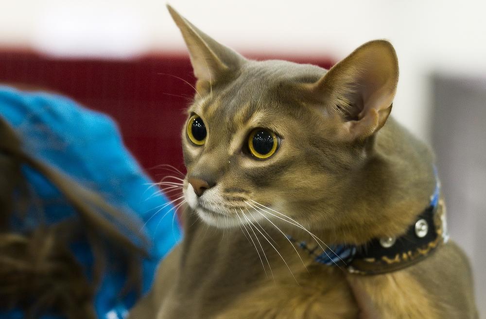 Абиссинская порода кошек: особенности характера