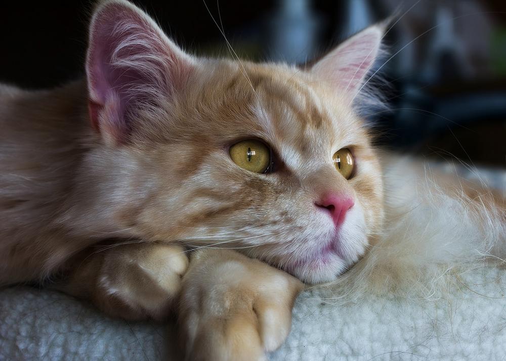 Нотоэдроз у кошек - симптомы и способы лечения чесоточного клеща