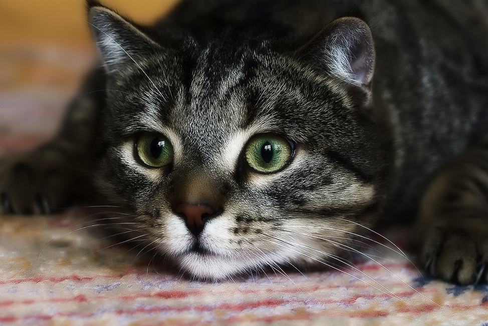 Почему кошка постоянно чешется и лижется, если блох нет