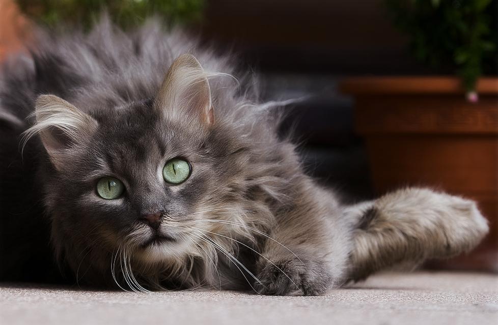 Болезни печени у кошек: симптомы, лечение и профилактика