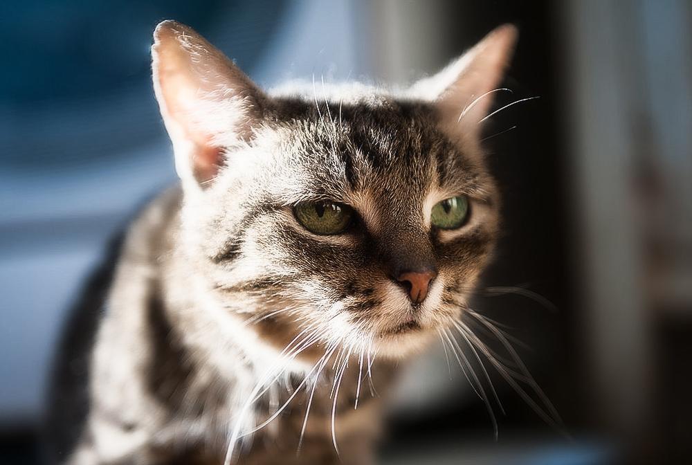 Гломерулонефрит у кошек: симптомы и лечение