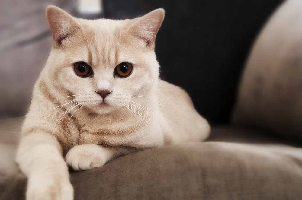 Ложная беременность у кошек - патология или норма?