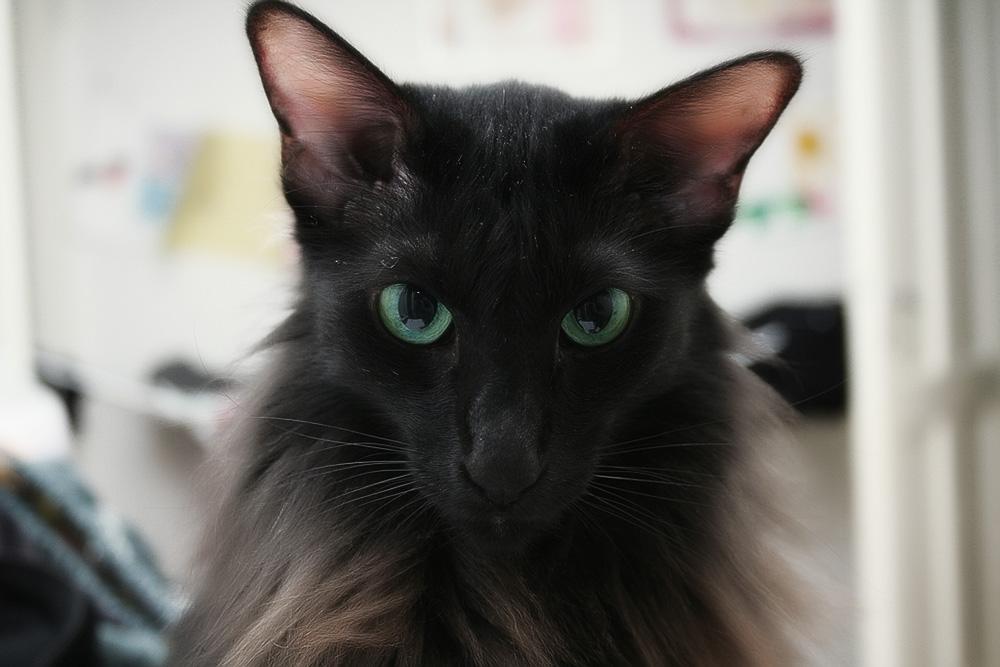Кошки, не вызывающие аллергию: породы