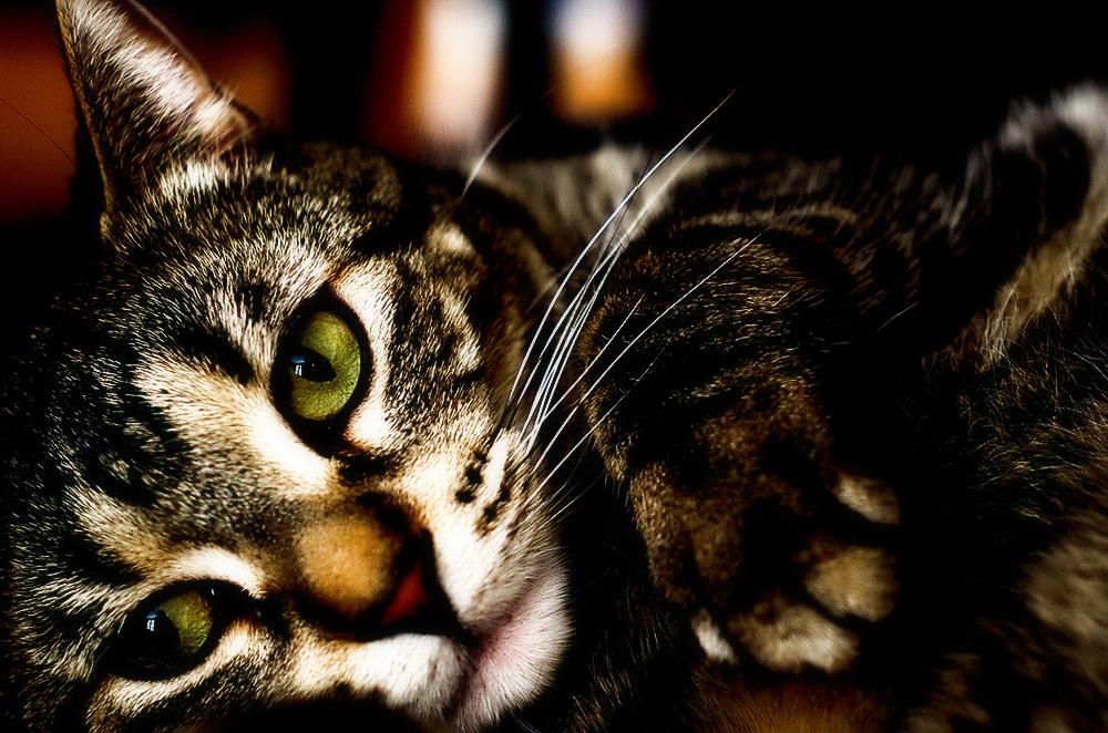 Сахарный диабет у кошек: симптомы и лечение