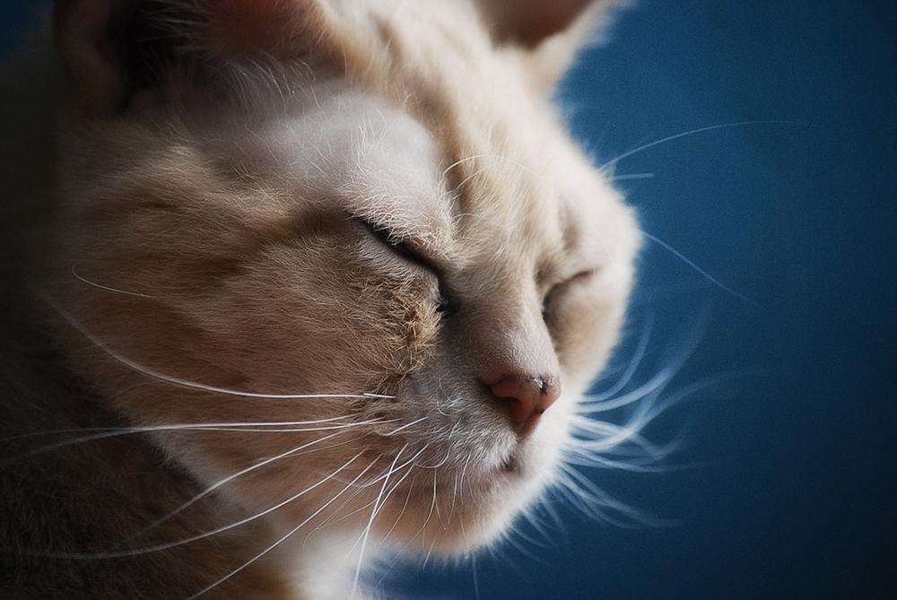 Передается лишай от кота к человеку