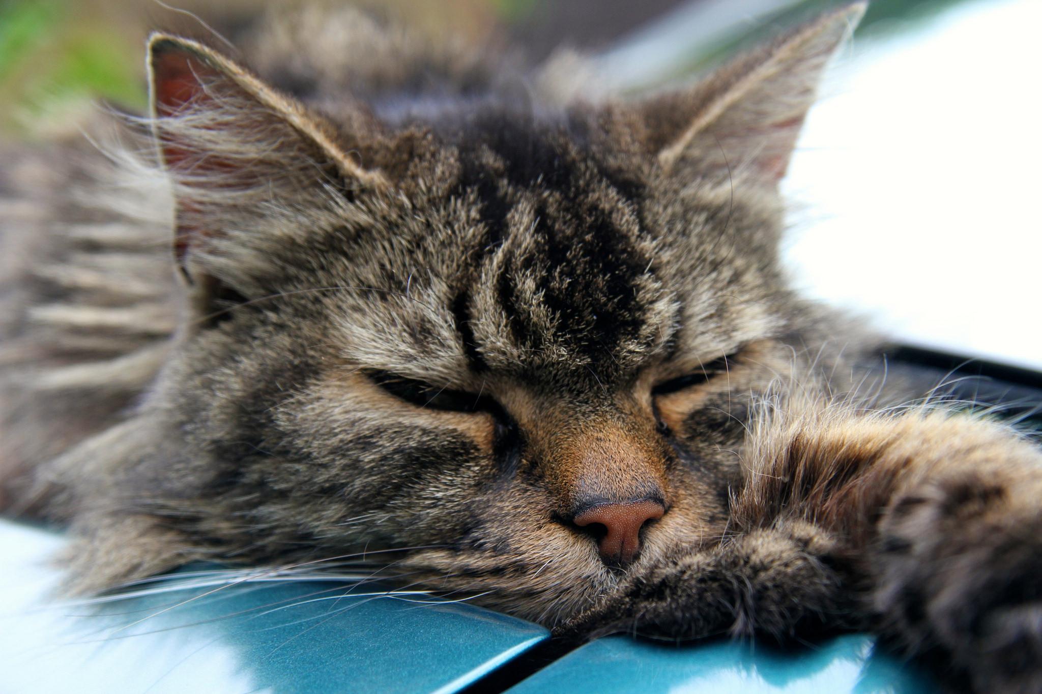 """Капли для кошек """"Чистотел"""" от блох: инструкция"""