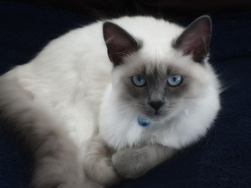 Балинезийская кошка (балийская кошка, балинез)