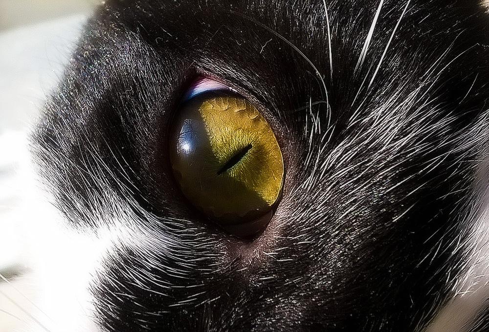 Максидин для кошек: инструкция по применению