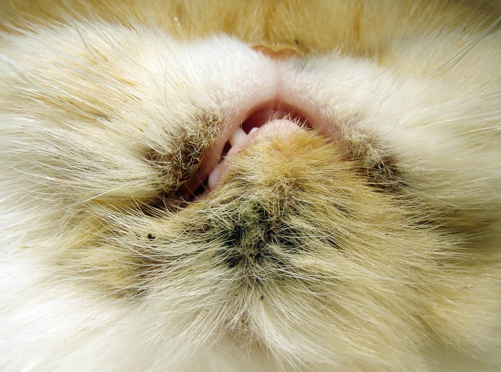 Акне у кошек