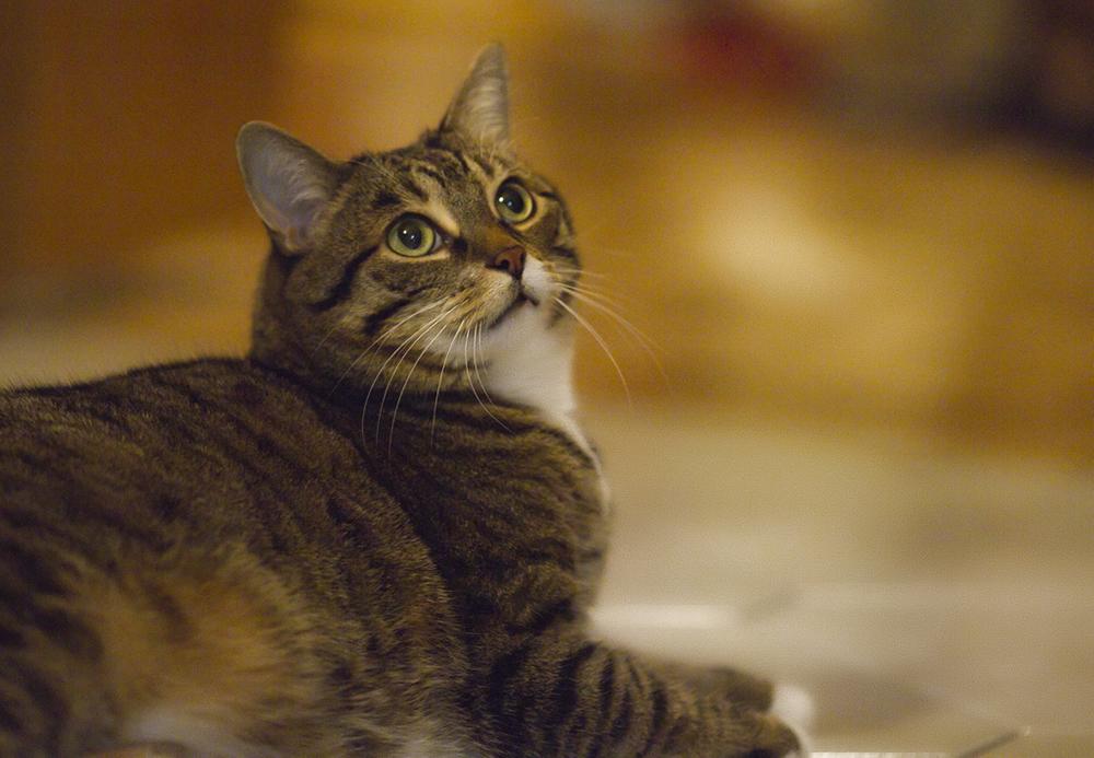 Лейкоз у кошек: симптомы и лечение