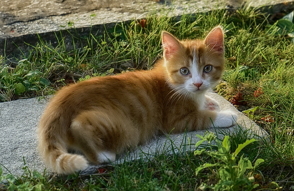 Анандин для кошек: инструкция по применению