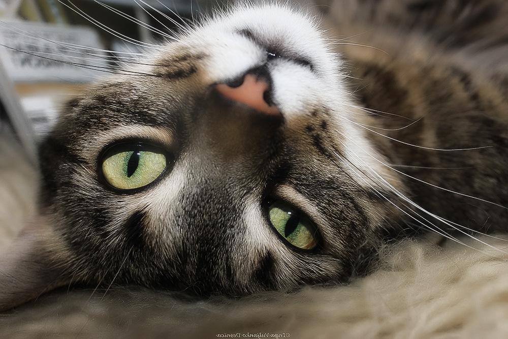 Кератит у кошек