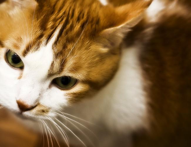 Коричневые выделения из глаз у кошки