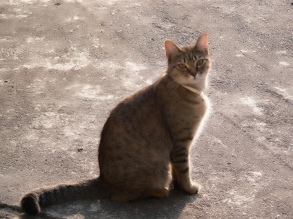 Мист австралийский (австралийская дымчатая кошка)