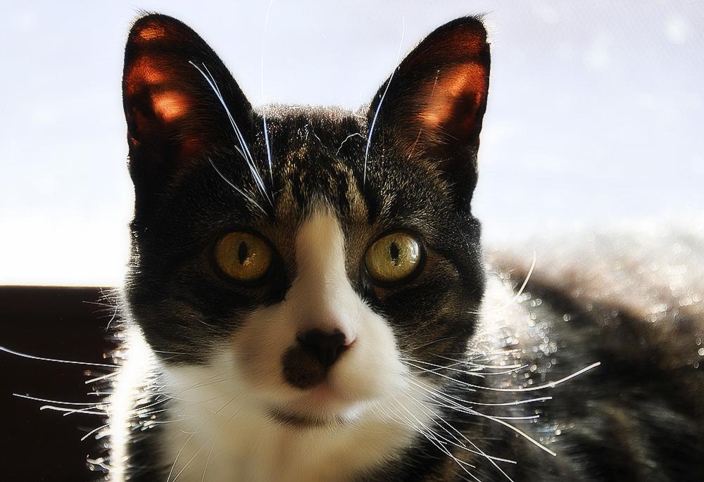 Почему кот трясет головой и чешет уши?