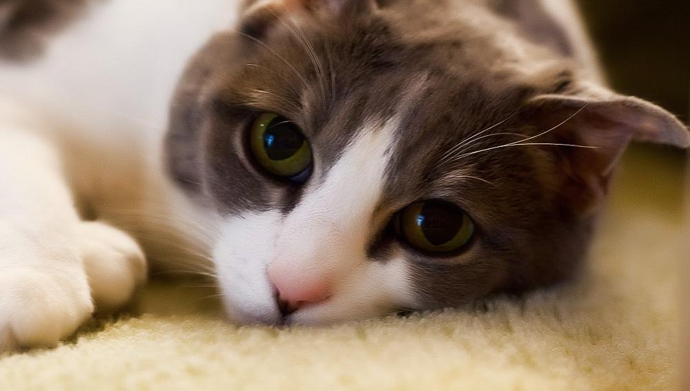 Капсулы для кошек секс барьер
