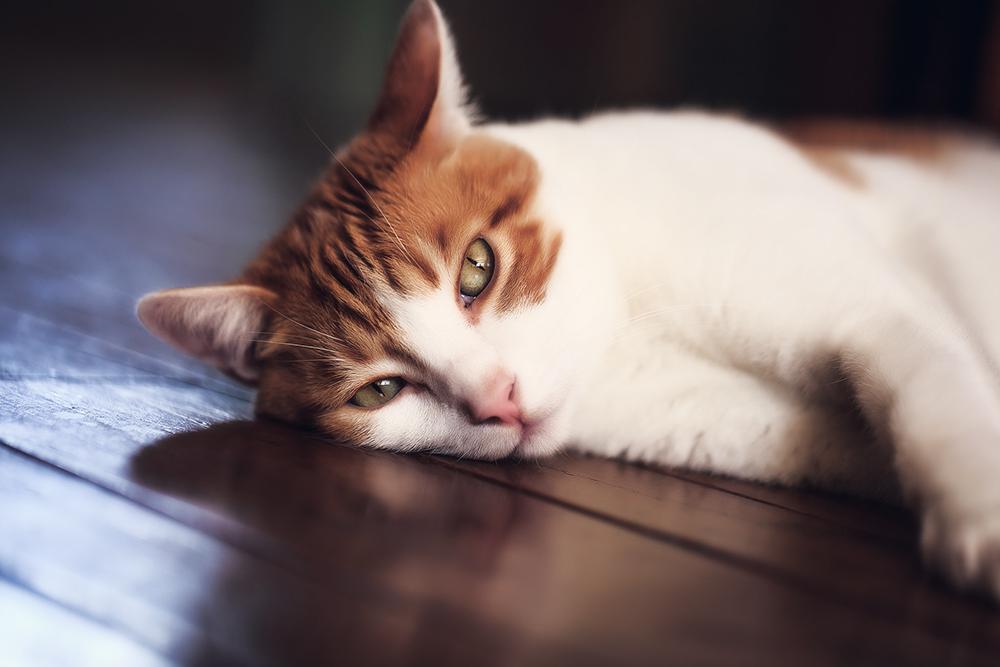 Отодектоз у кошек и его лечение