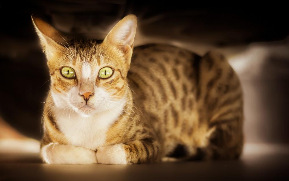Эпилепсия у кошек: симптомы, лечение