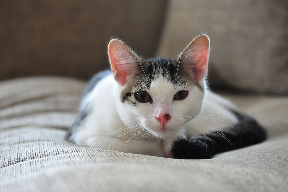 Амоксициллин для кошек