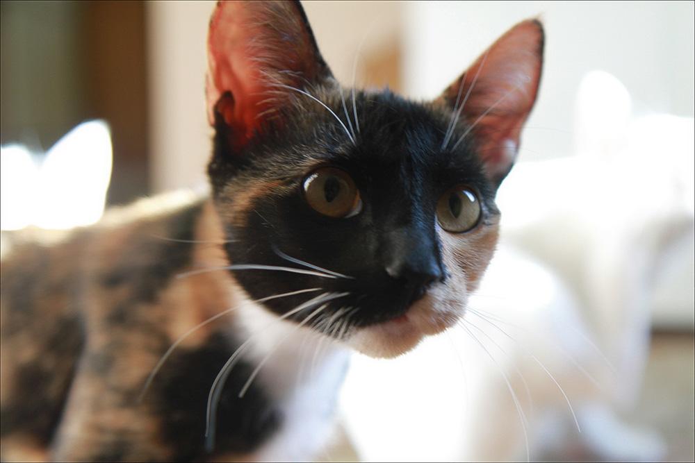 Третье веко у кошки: причины и лечение