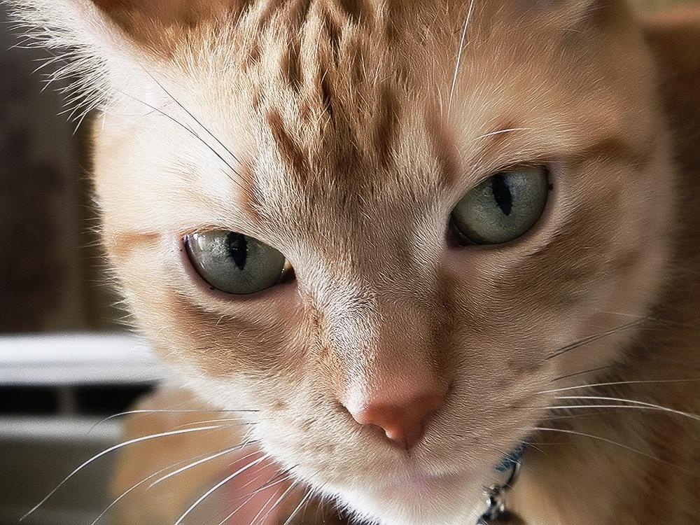 Блохи у кошки: опасны ли для человека?