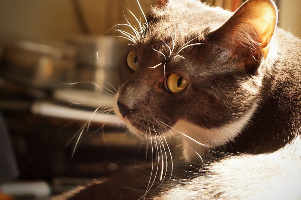 У кота в моче кровь: причины, лечение