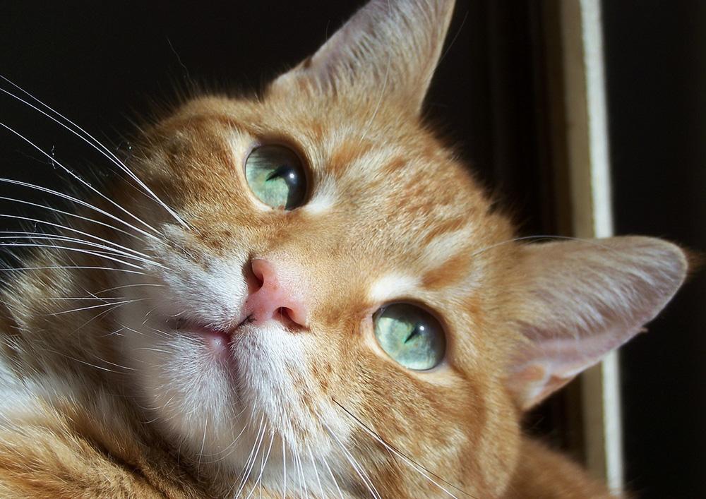 Как давать коту преднизолон