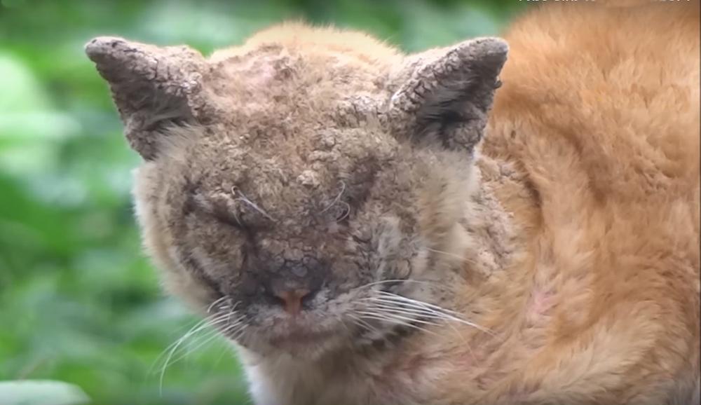 Саркоптоз у кошек