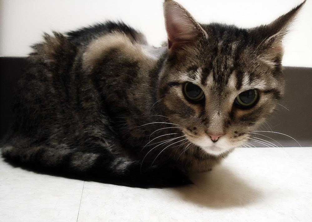 Гастрит у кошек: симптомы и лечение