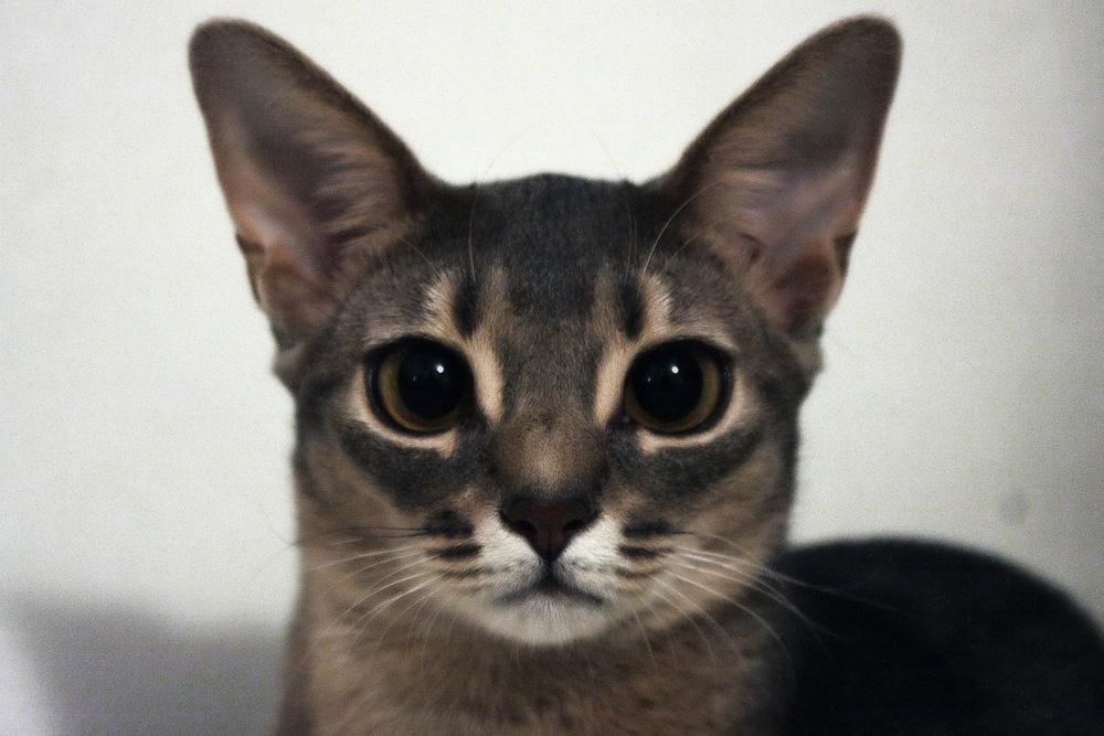 Абиссинская кошка: окрасы