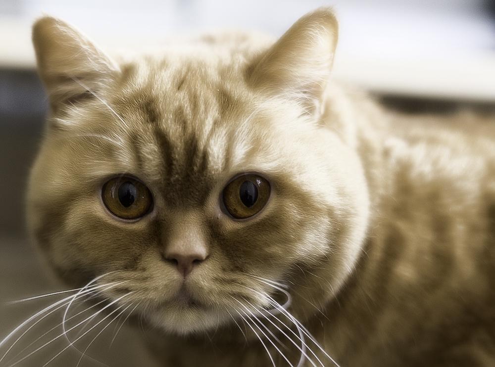 Как назвать британскую кошку или кота