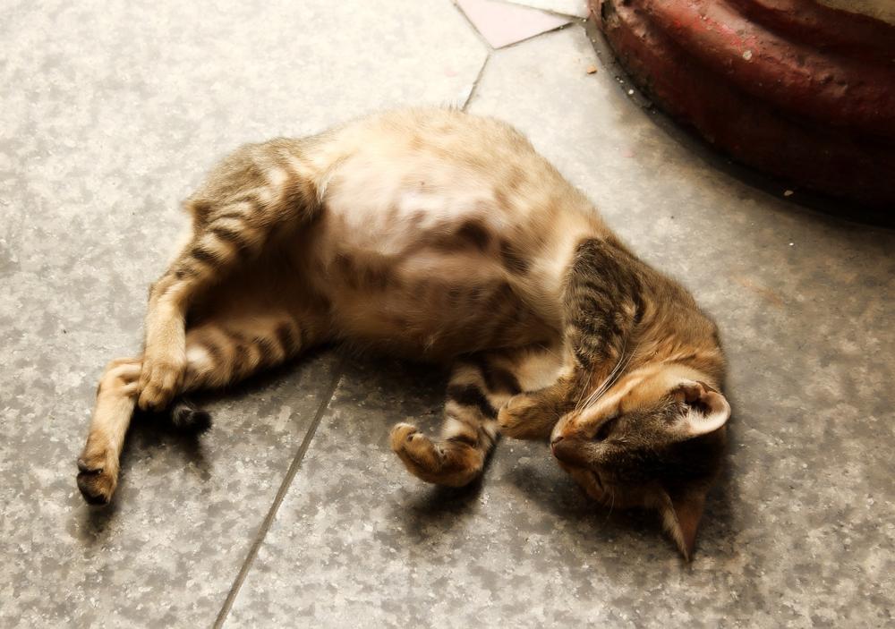 Сколько месяцев кошка вынашивает котят?