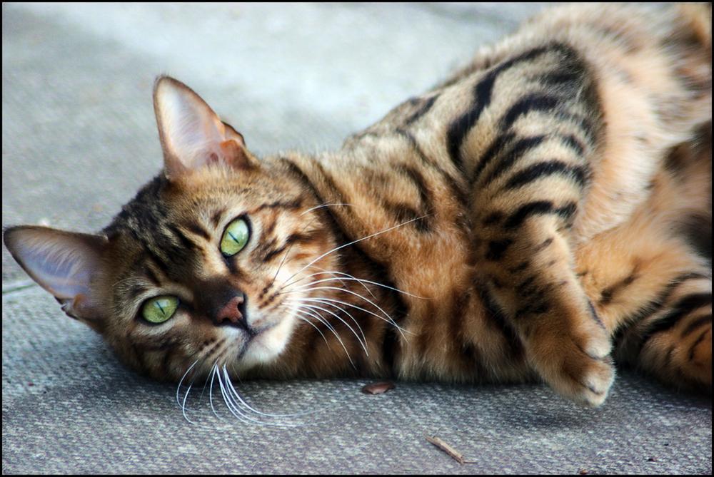Бенгальская кошка: характер и поведение