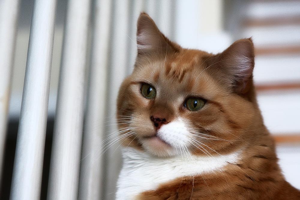 В каком возрасте кастрируют котов?