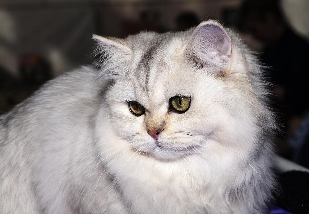 У кота пропал голос: причины и лечение