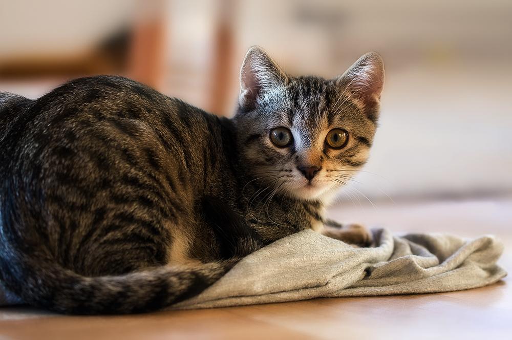 Чем обработать рану у кошки