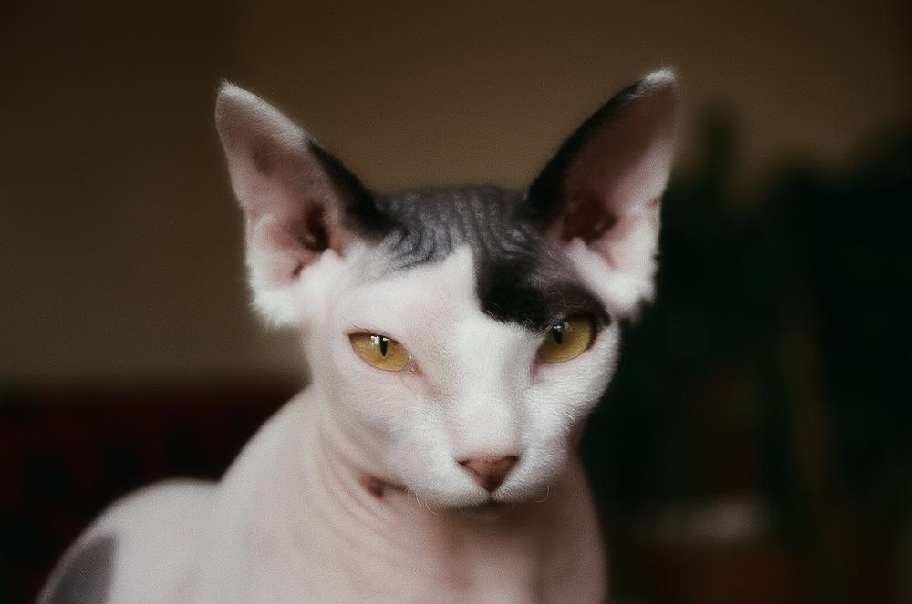 Сколько живут кошки сфинксы?